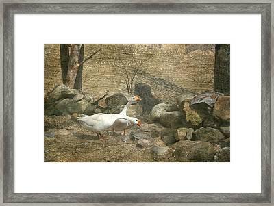 Feeding Geese   Framed Print