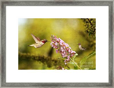 Feeding Hummer Framed Print by Darren Fisher