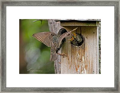 Feeding Starlings Framed Print by Torbjorn Swenelius