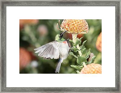 Feeding Sunbird Framed Print