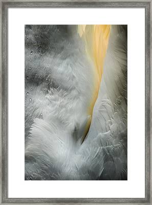 Feeding Swan Framed Print by Andy Astbury