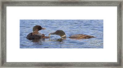 Feeding Time For Loon Chicks Framed Print by Jim Block