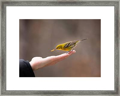 Feeding Time - Pine Warbler Framed Print by Christy and Bruce Cox