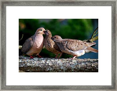 Feeding Twin Mourning Doves Framed Print by Mary Beth Landis