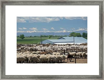 Feedlot Sheep Framed Print