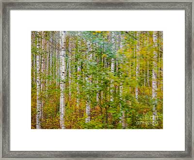 Feels Like Autumn In A Forest Of Birch Trees Framed Print