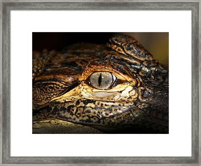 Feisty Gator Framed Print