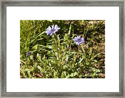 Felicia Heterophylla Framed Print by Bob Gibbons
