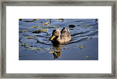 Femail Duck- Female Mallard Swimming Framed Print
