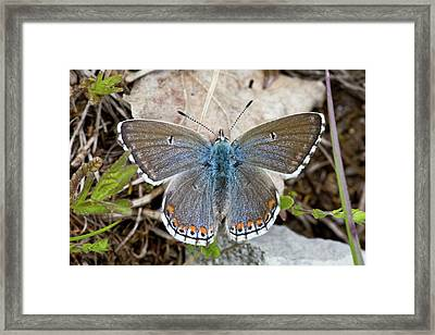 Female Adonis Blue Butterfly Framed Print by Bob Gibbons