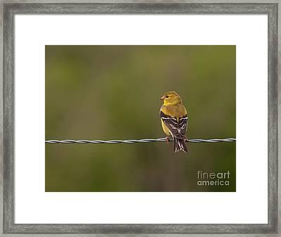 Female American Goldfinch Framed Print by Douglas Stucky