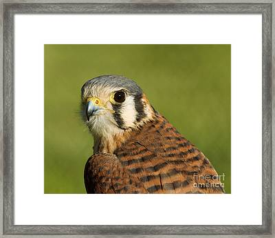 Framed Print featuring the photograph female American Kestrel by Doug Herr