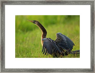 Female Anhinga Drying Out Wings Framed Print