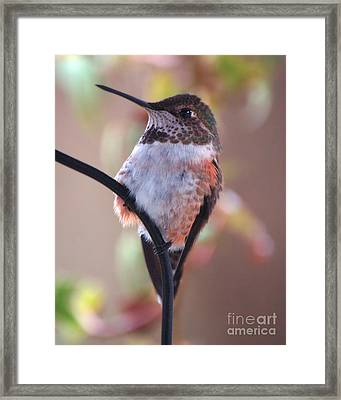 Female Anna Hummer Framed Print