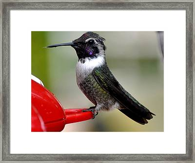 Framed Print featuring the photograph Male Anna On Feeder Perch Posing by Jay Milo