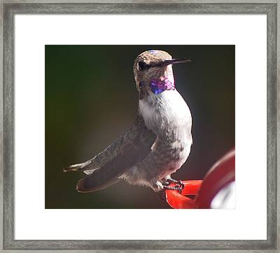 Framed Print featuring the photograph Female Anna On Perch by Jay Milo