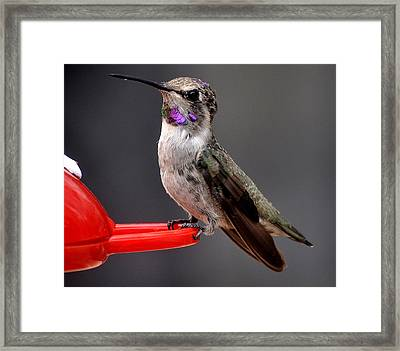 Framed Print featuring the photograph Female Anna's Hummingbird On Perch Posing For Her Supper by Jay Milo