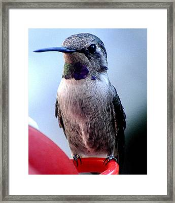 Framed Print featuring the photograph Female Anna With Purple Blue Throat by Jay Milo