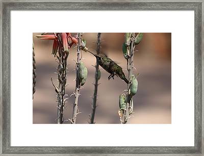 Female Anna's Hummingbird Framed Print by Christiane Schulze Art And Photography
