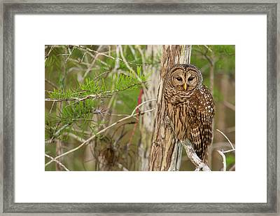 Female Barred Owl (strix Varia Framed Print by Chuck Haney