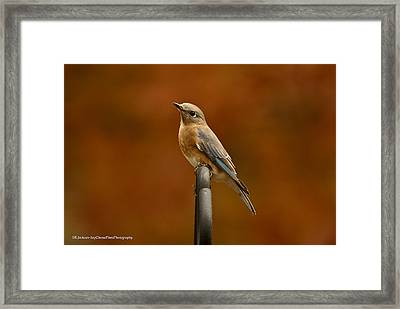 Female Bluebird Framed Print