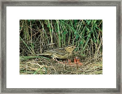 Female Bobolink At Nest Framed Print by Anthony Mercieca