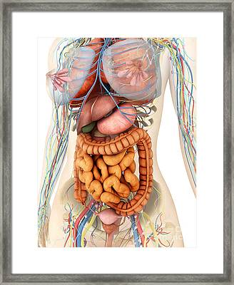 Female Body Showing Digestive Framed Print by Stocktrek Images