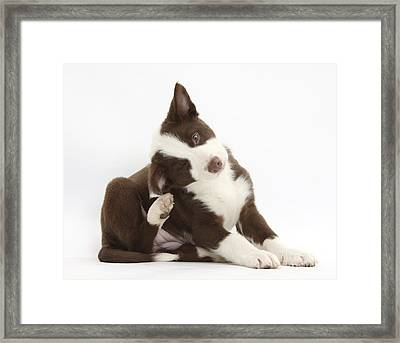 Female Border Collie Pup Framed Print