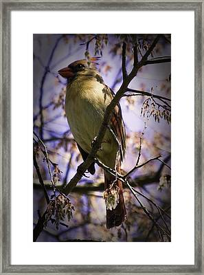 Female Cardinal Framed Print by Barry Jones