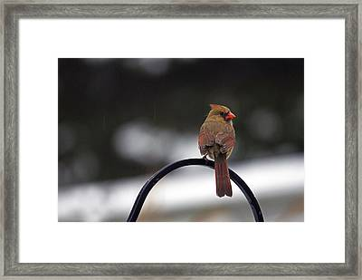 Female Cardinal Framed Print by Elsa Marie Santoro