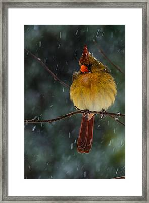 Female Cardinal In A Storm  Framed Print
