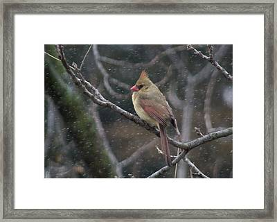 Female Cardinal In Snow 01 Framed Print by Shelly Gunderson