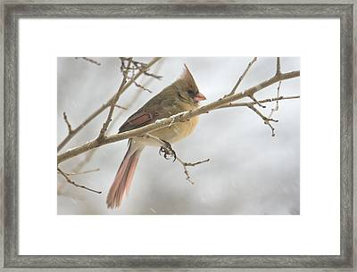 Female Cardinal In Snow 02 Framed Print by Shelly Gunderson