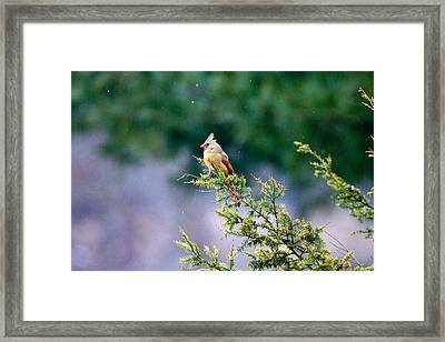 Framed Print featuring the photograph Female Cardinal In Snow by Eleanor Abramson