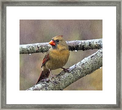 Female Cardinal Reigns In The Rain  Framed Print by Constantine Gregory