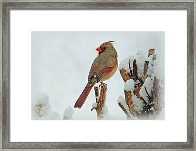 Female Cardinal In The Snow Framed Print