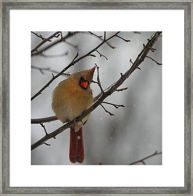 Female Cardinal In Winter Framed Print by Dan Sproul