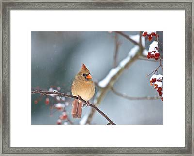 Female Cardinal On Cherry Tree In Snow Framed Print