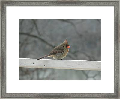 Female Cardinal Posing Framed Print by Cindy Croal