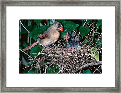 Female Cardinal With Young Framed Print