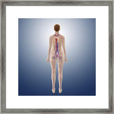 Female Cardiovascular System, Artwork Framed Print