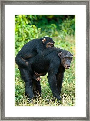Female Chimpanzee Pan Troglodytes Framed Print