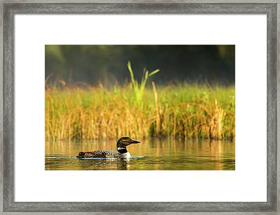 Female Common Loon With Newborn Chick Framed Print