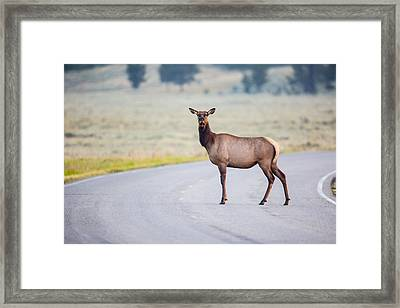 Female Elk Crossing The Road At Yellowstone Framed Print by Andres Leon