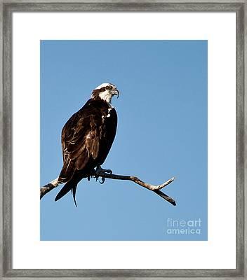 Female Florida Osprey Framed Print by Michelle Wiarda