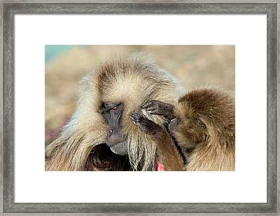 Female Gelada Baboon Grooming A Male Framed Print