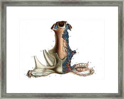 Female Genitals Blood Supply Framed Print by Collection Abecasis