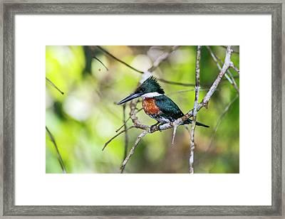 Female Green Kingfisher Chloroceryle Framed Print by Leonardo Mer�on