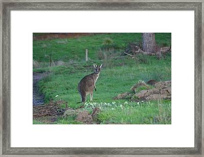 Female Kangaroo In Yarra Glen 08-07-2014 Framed Print by Bert Ernie