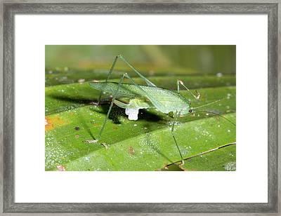 Female Katydid With Spermatophore Framed Print